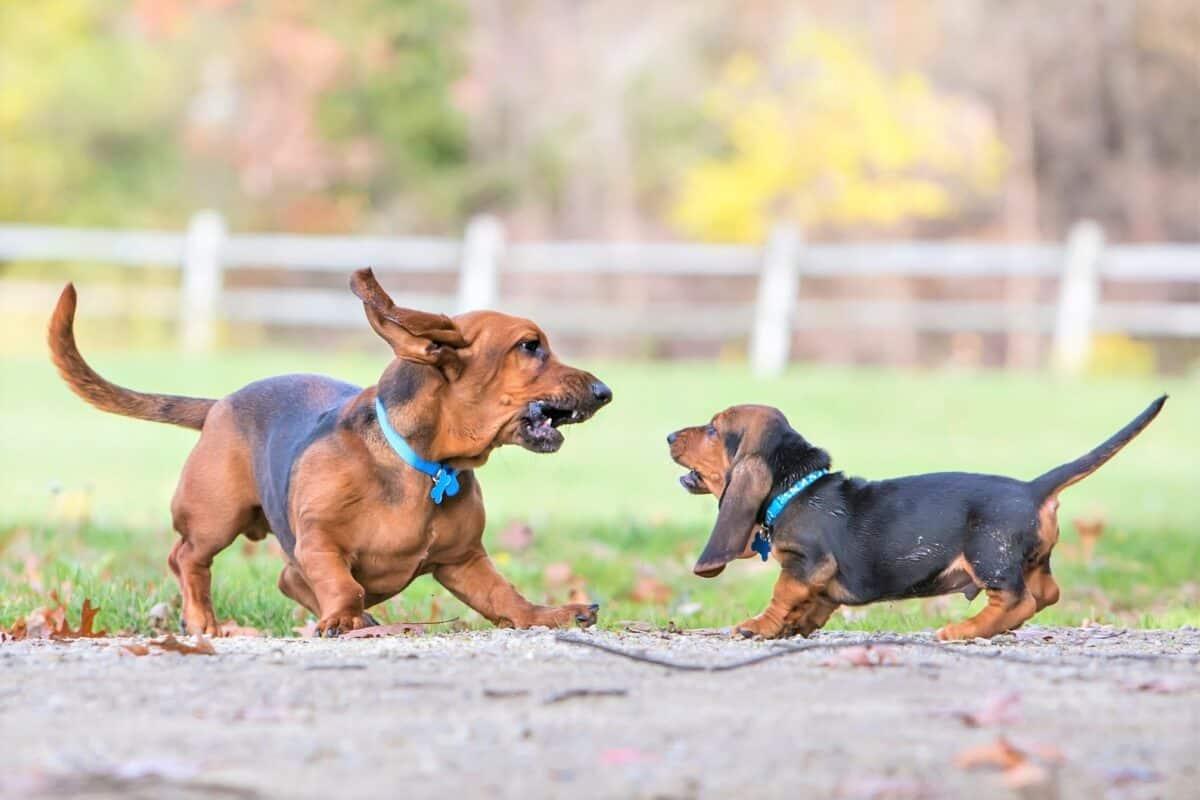 Male Basset Hound playing with a Basset Hound puppy