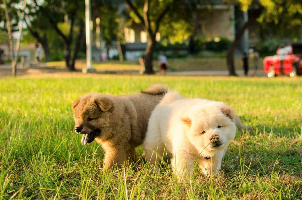Male and female Chow Chow puppies
