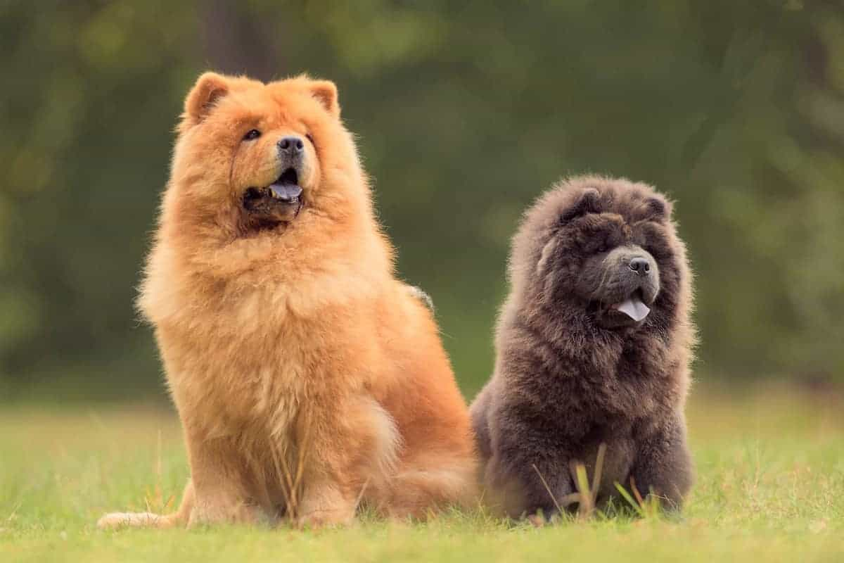 Male and female Chow Chow sitting outdoor together