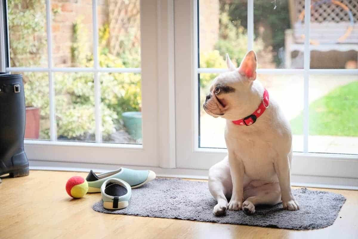 Monthly cost of owning a Frenchie