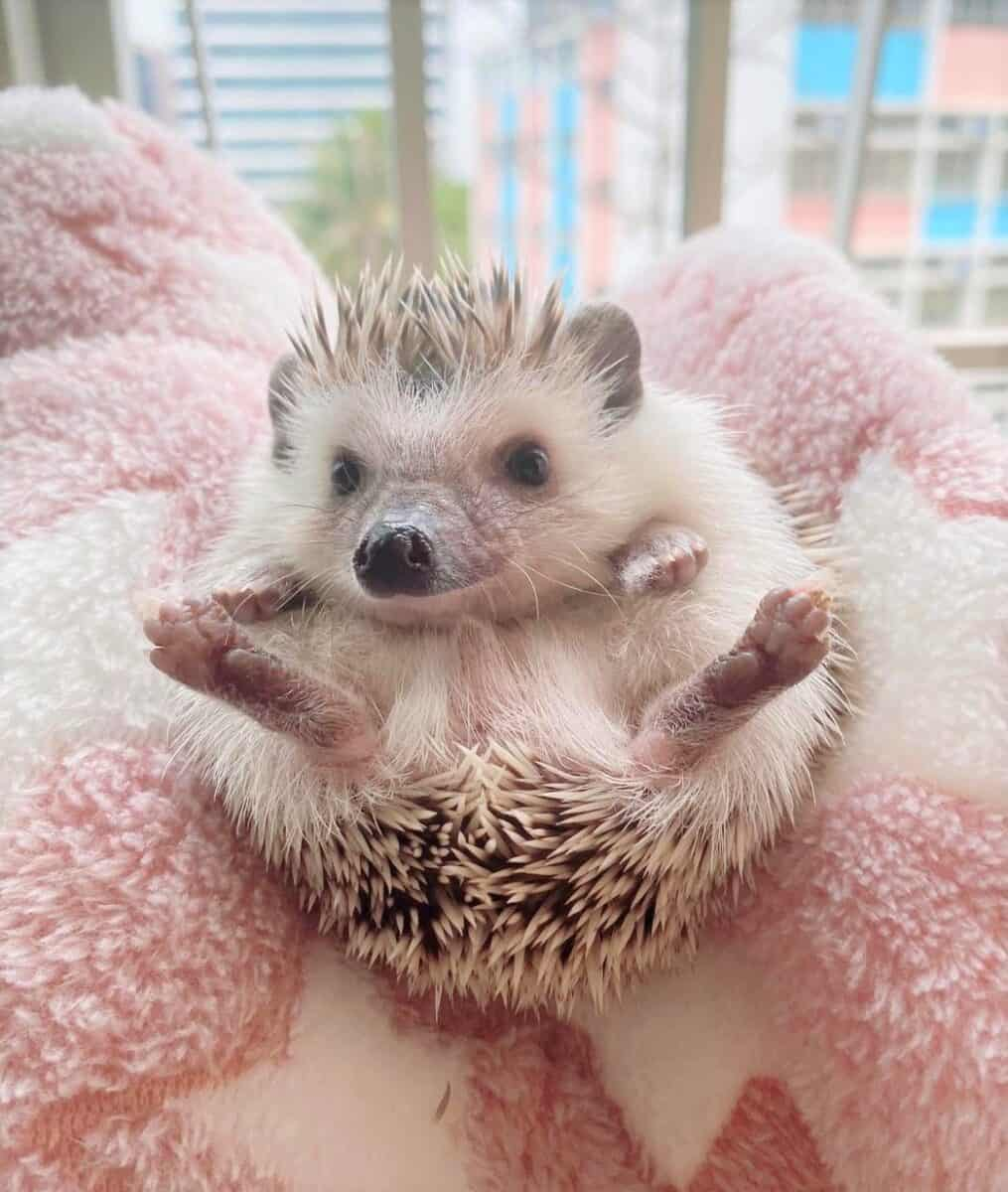North African Algerian hedgehog price