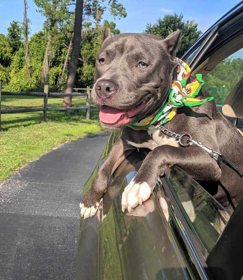 Pitbull with battle crop ears in a car