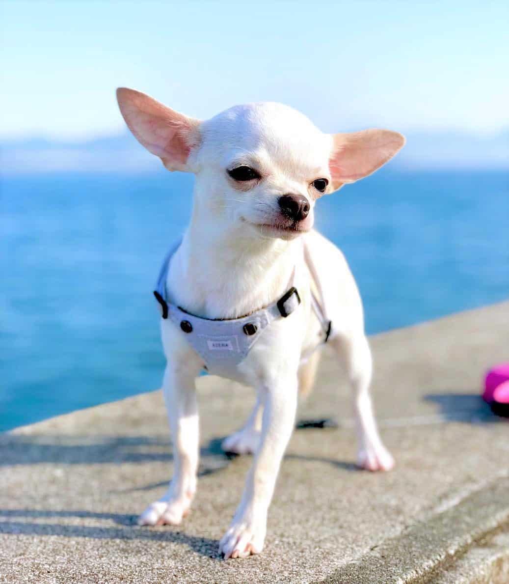 Pure white Chihuahua
