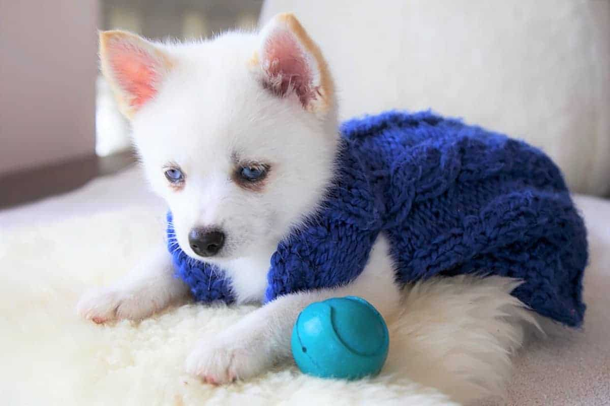 Teacup Pomsky puppy wearing a blue shirt