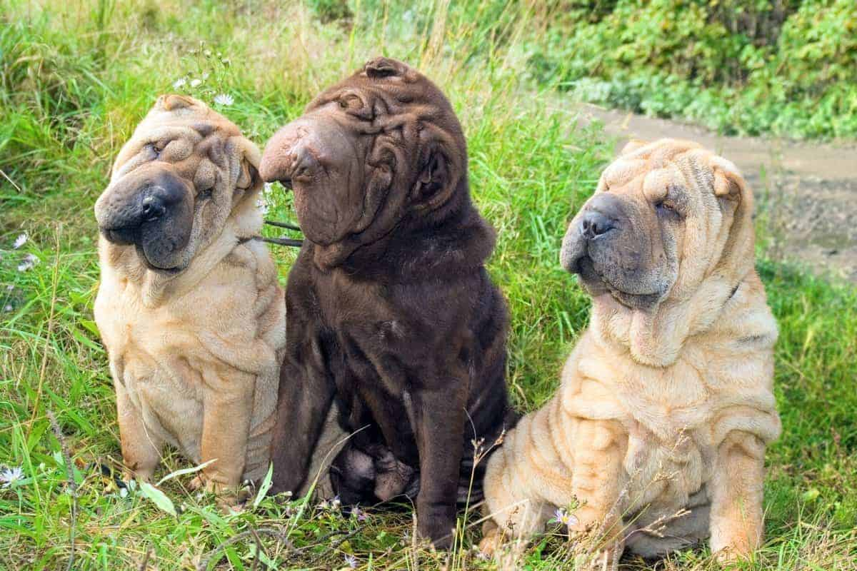Three Shar Pei puppies with different coat colors