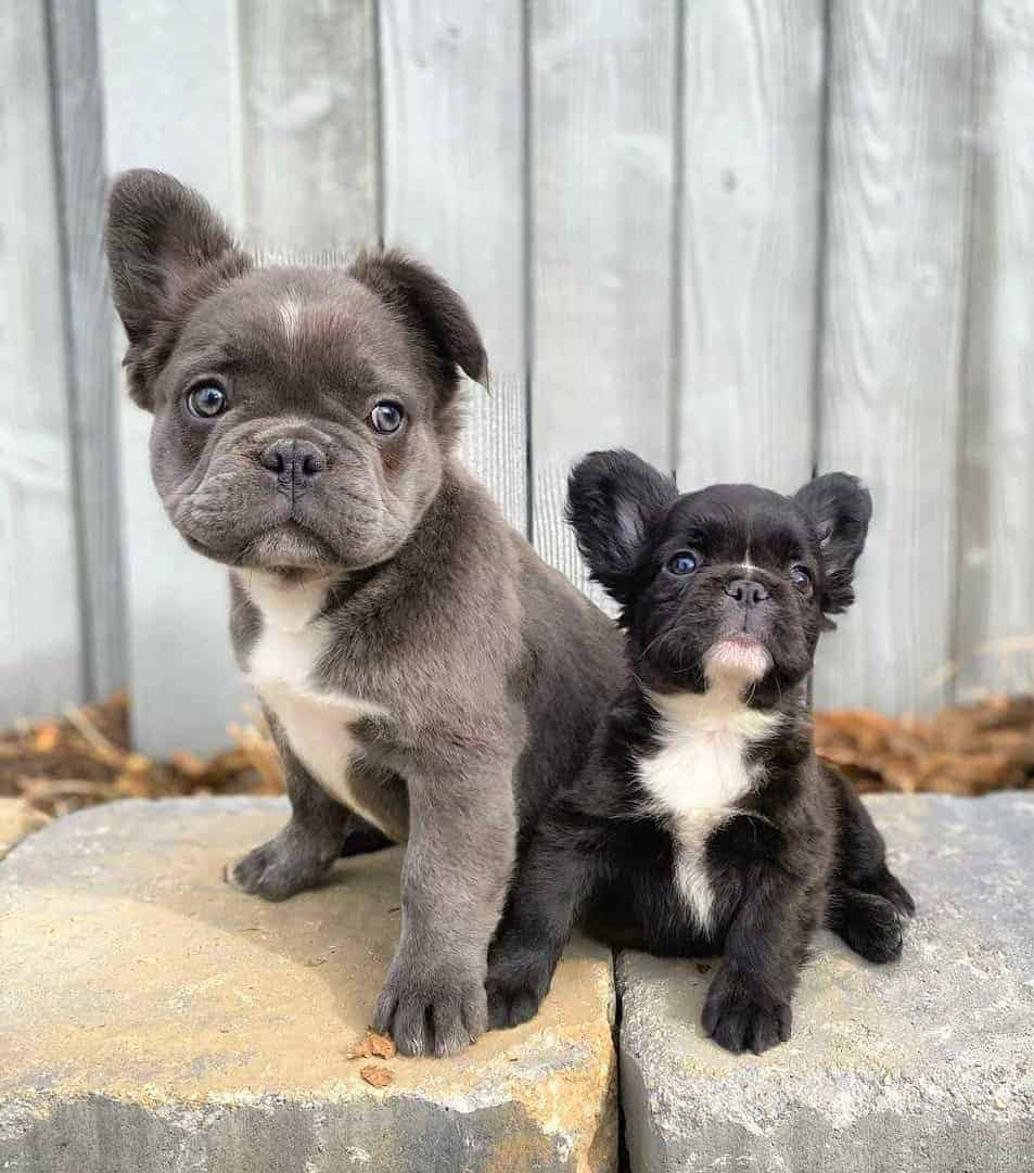 Two Fluffy Frenchie puppies