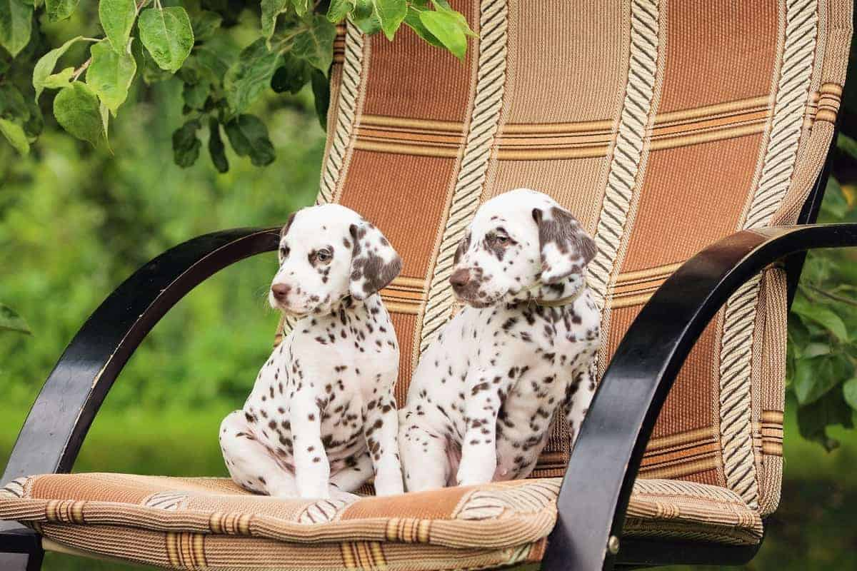 Two liver brown Dalmatian color puppies on a chair