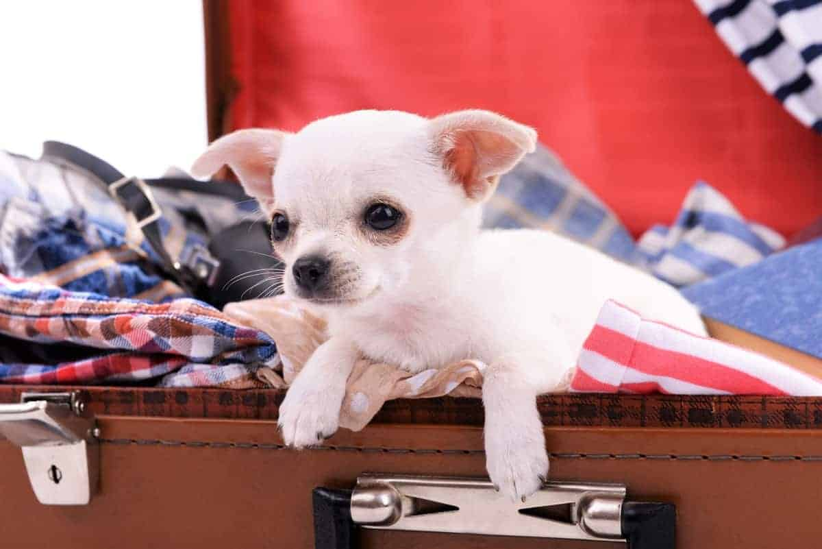 White Chihuahua puppy inside a luggage