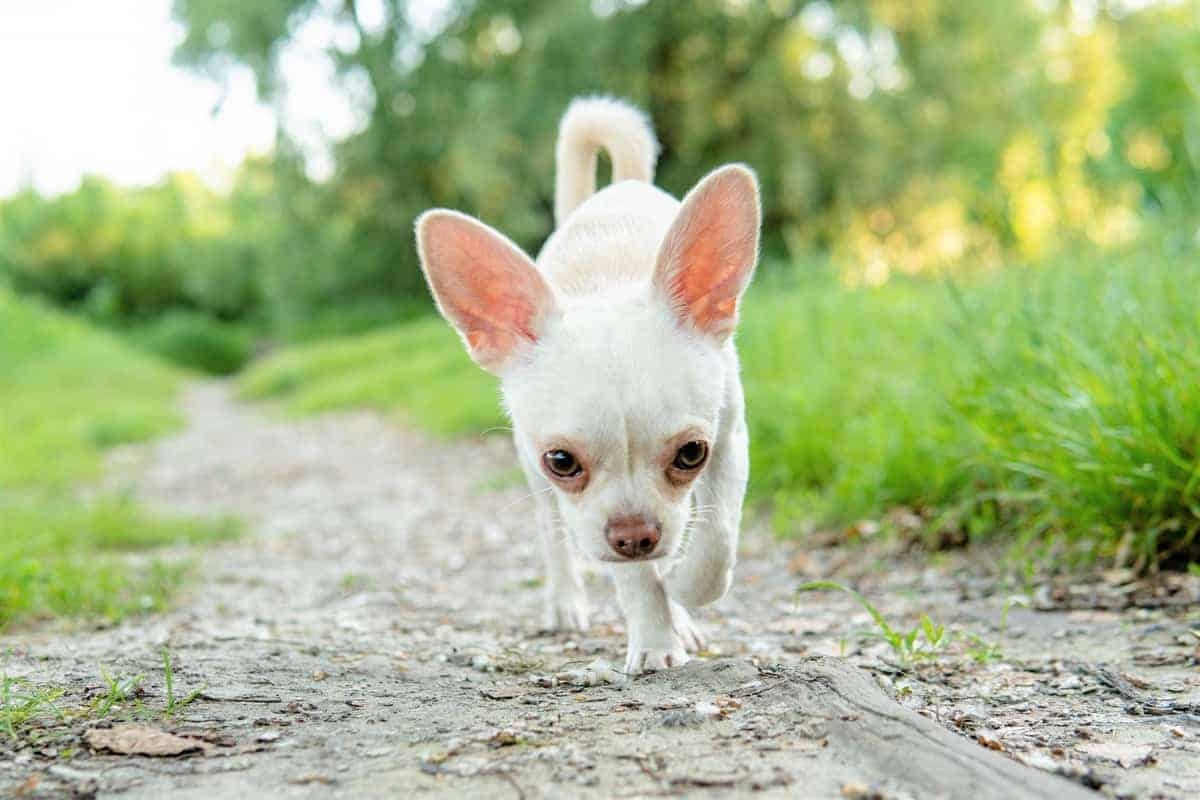 White Chihuahua puppy walking on a sand road