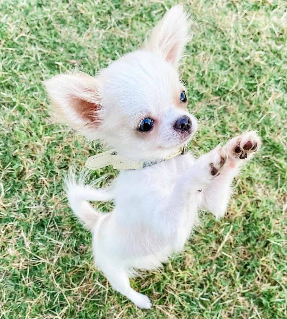 White Long-Haired Chihuahua standing up