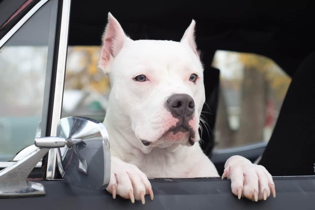 White Pitbull with cropped ears sitting in a car