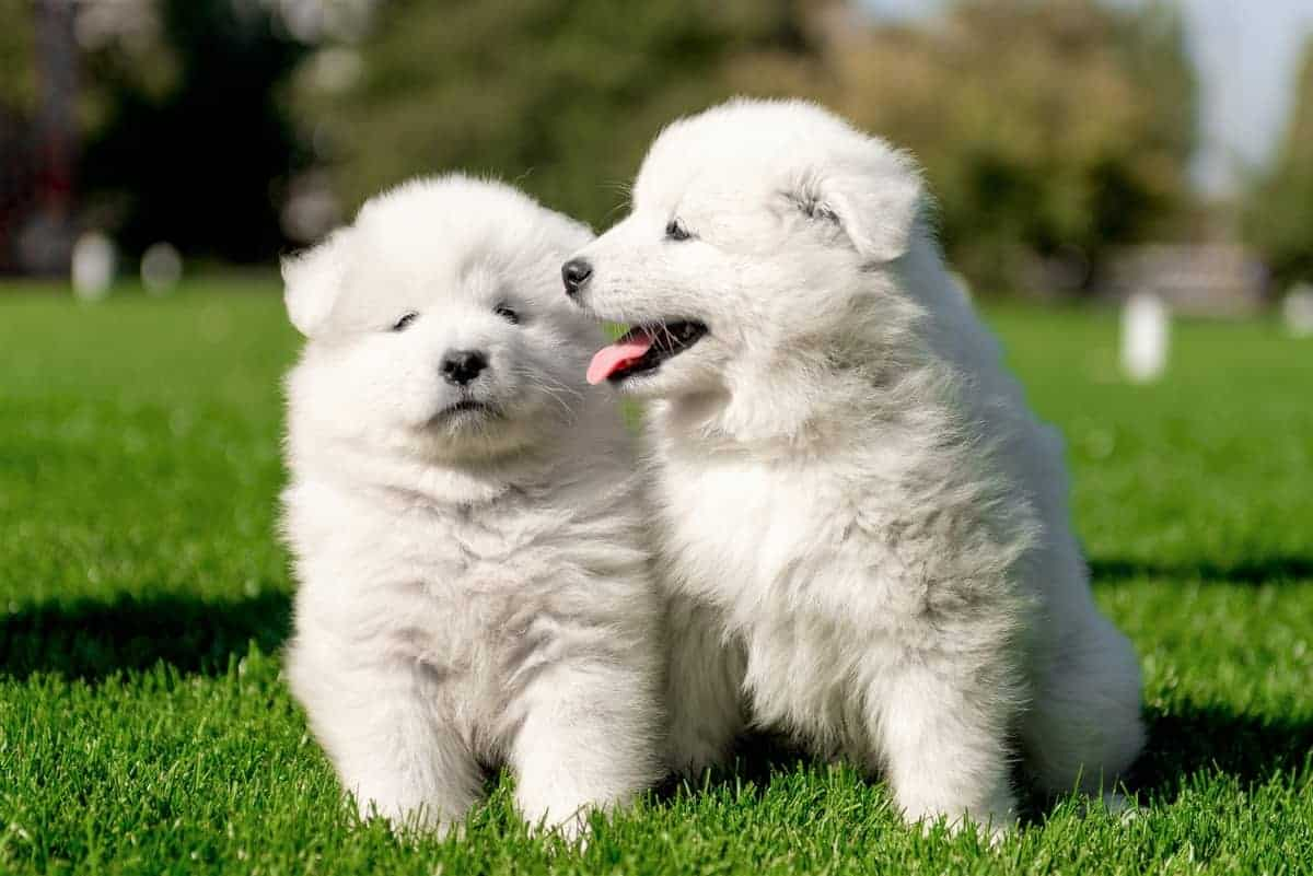 White Samoyed puppies on the grass
