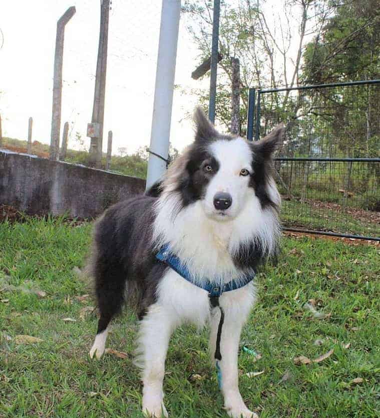 White and Blue Border Collie