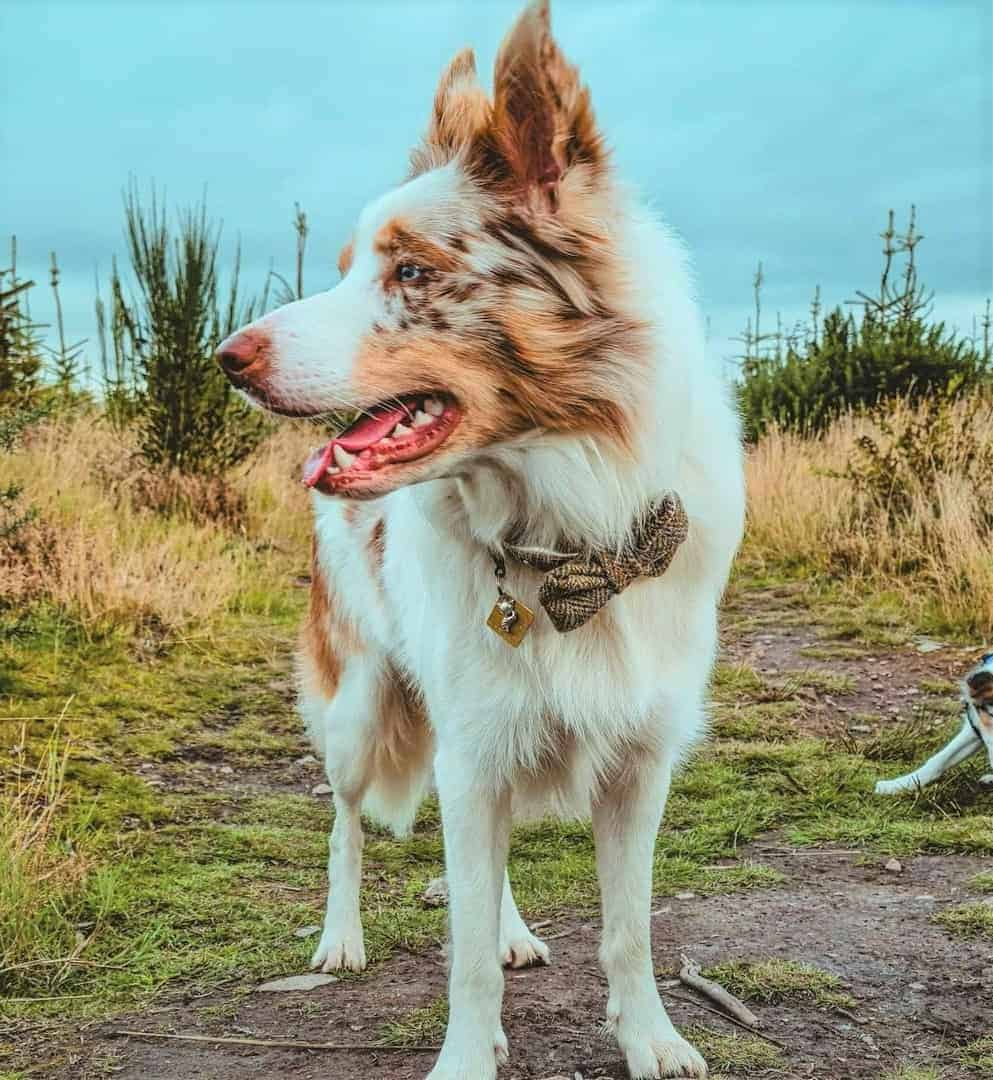 White and Red Merle Border Collie