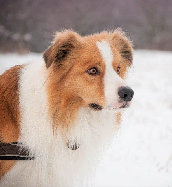 White and Sable Border Collie