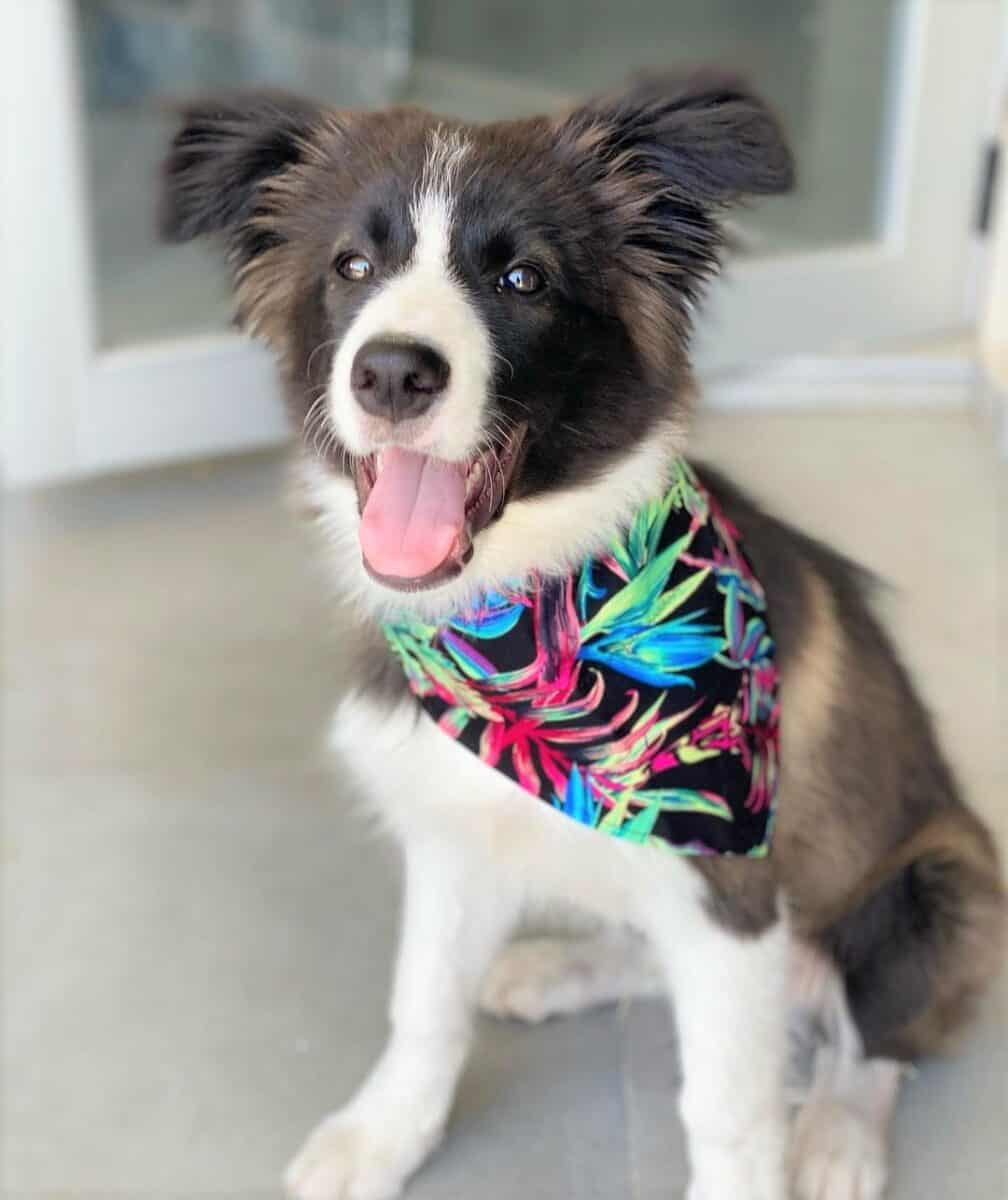 White and Seal Border Collie