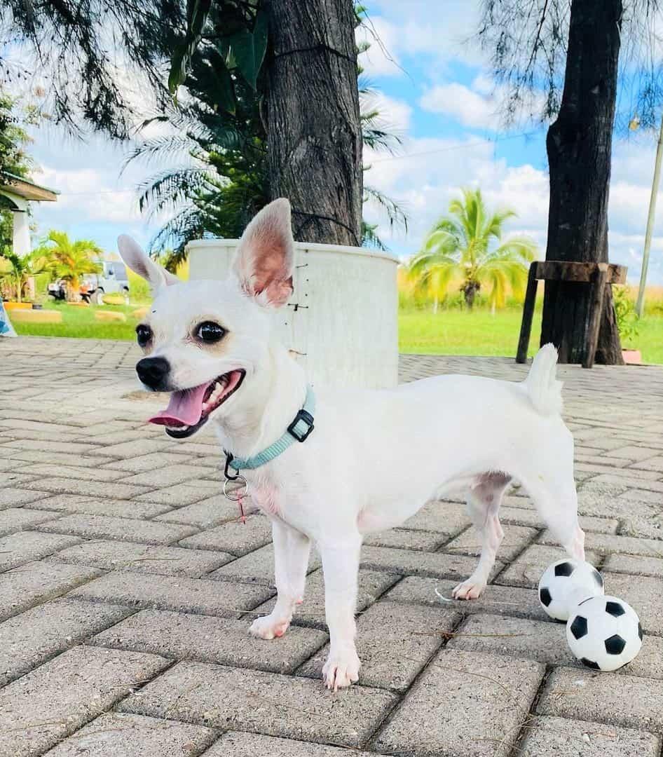 White apple head Chihuahua