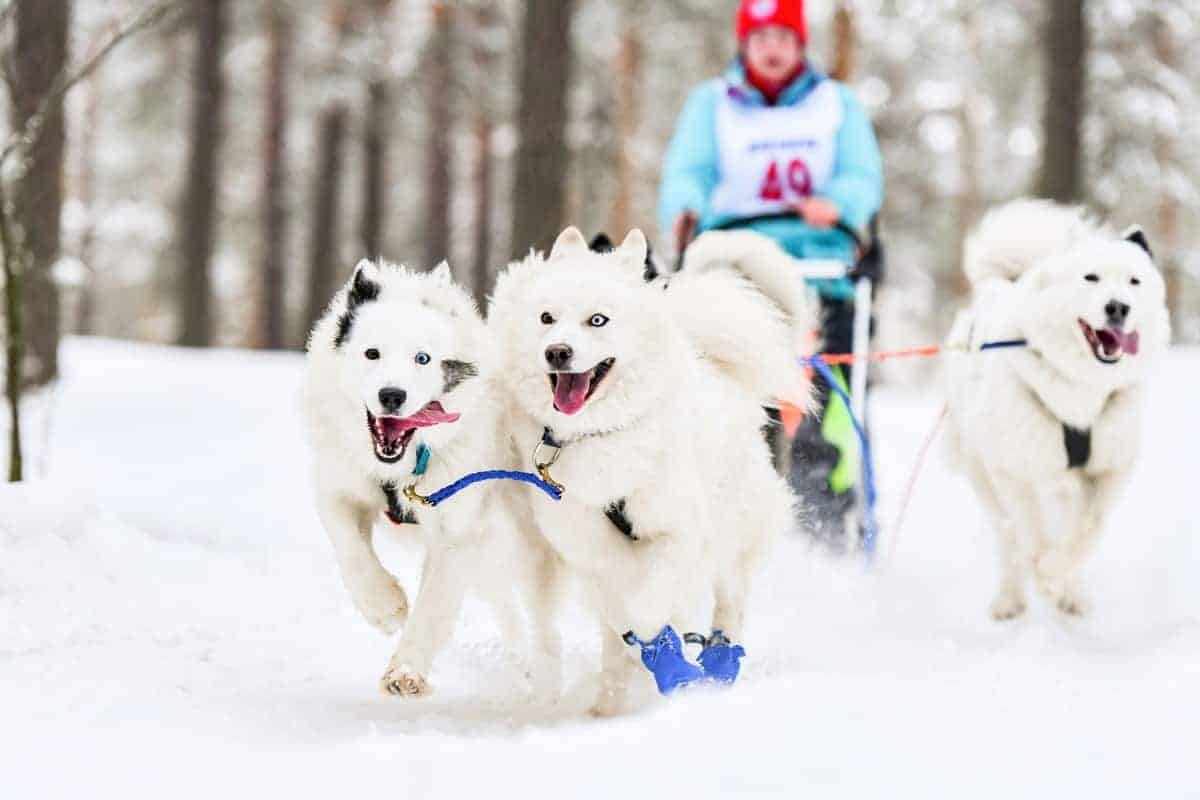 White color Samoyeds in sled dog racing
