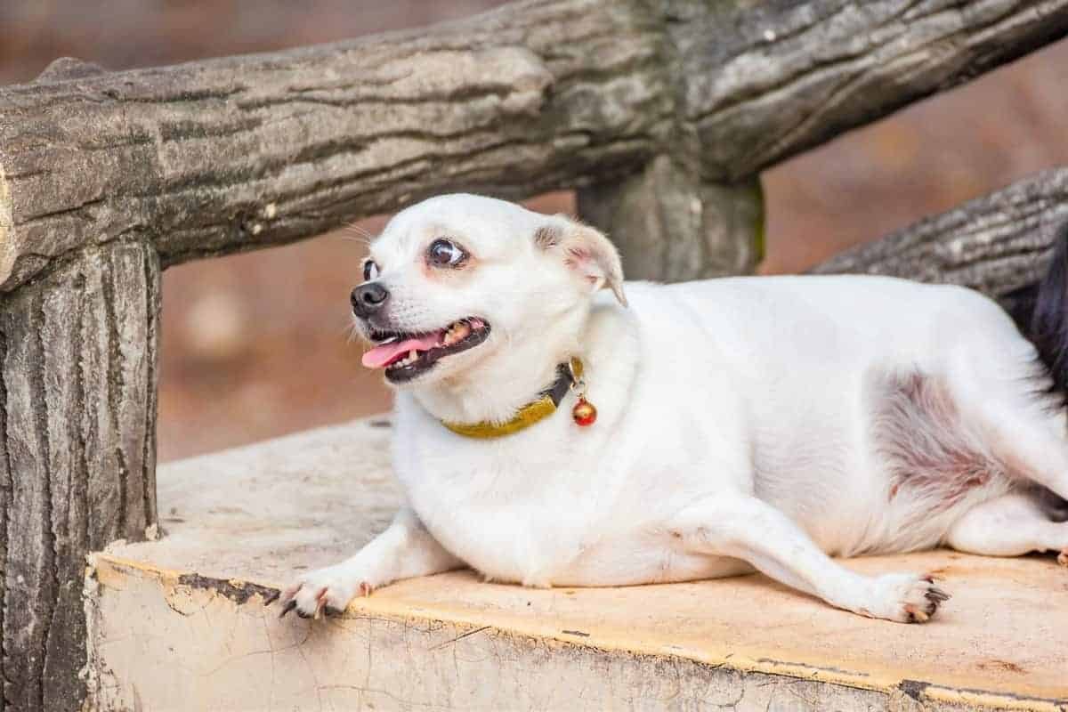 White obese Chihuahua