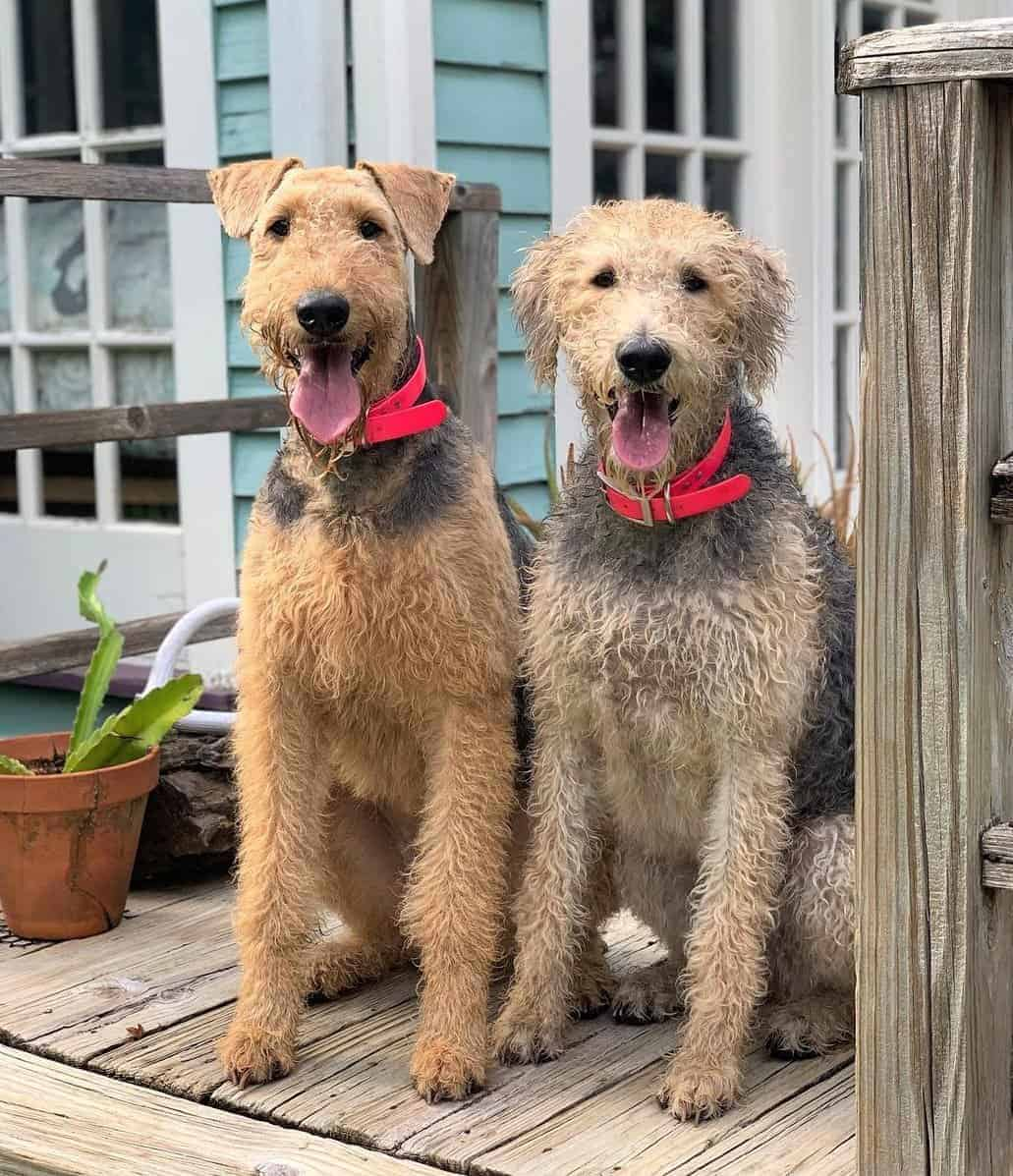 Airedoodle (Airedale Terrier and Poodle Mix)