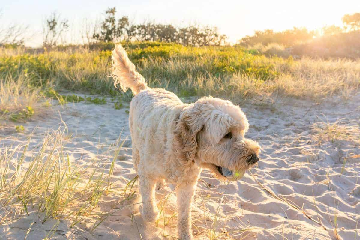 Australian Labradoodles playing at the beach