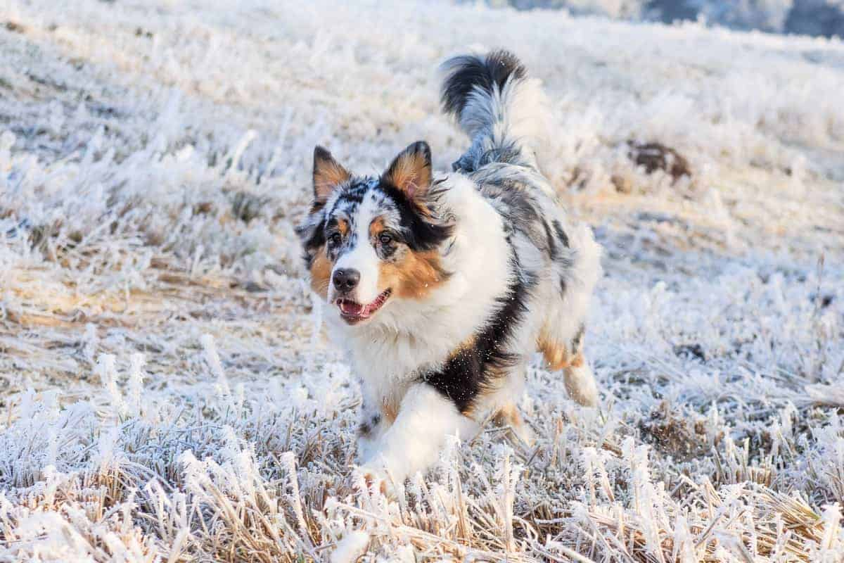Australian Shepherd puppy with a normal tail in winter