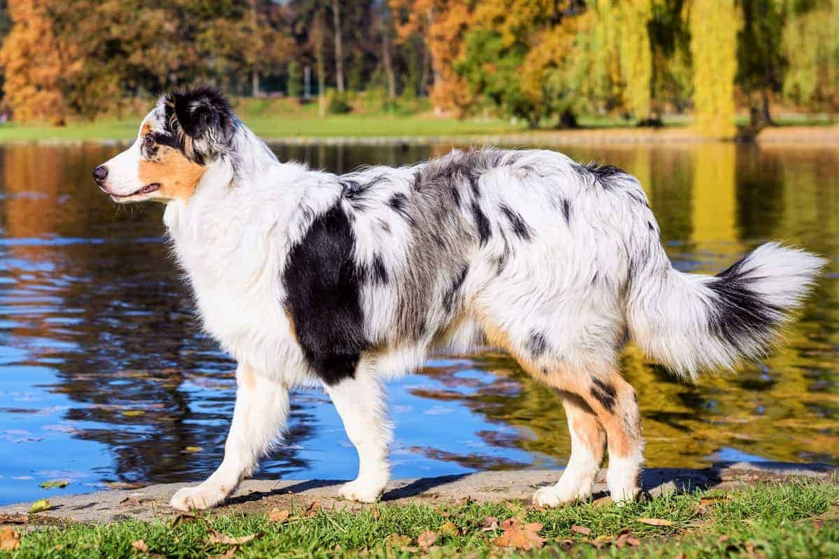 Australian Shepherd with a normal tail