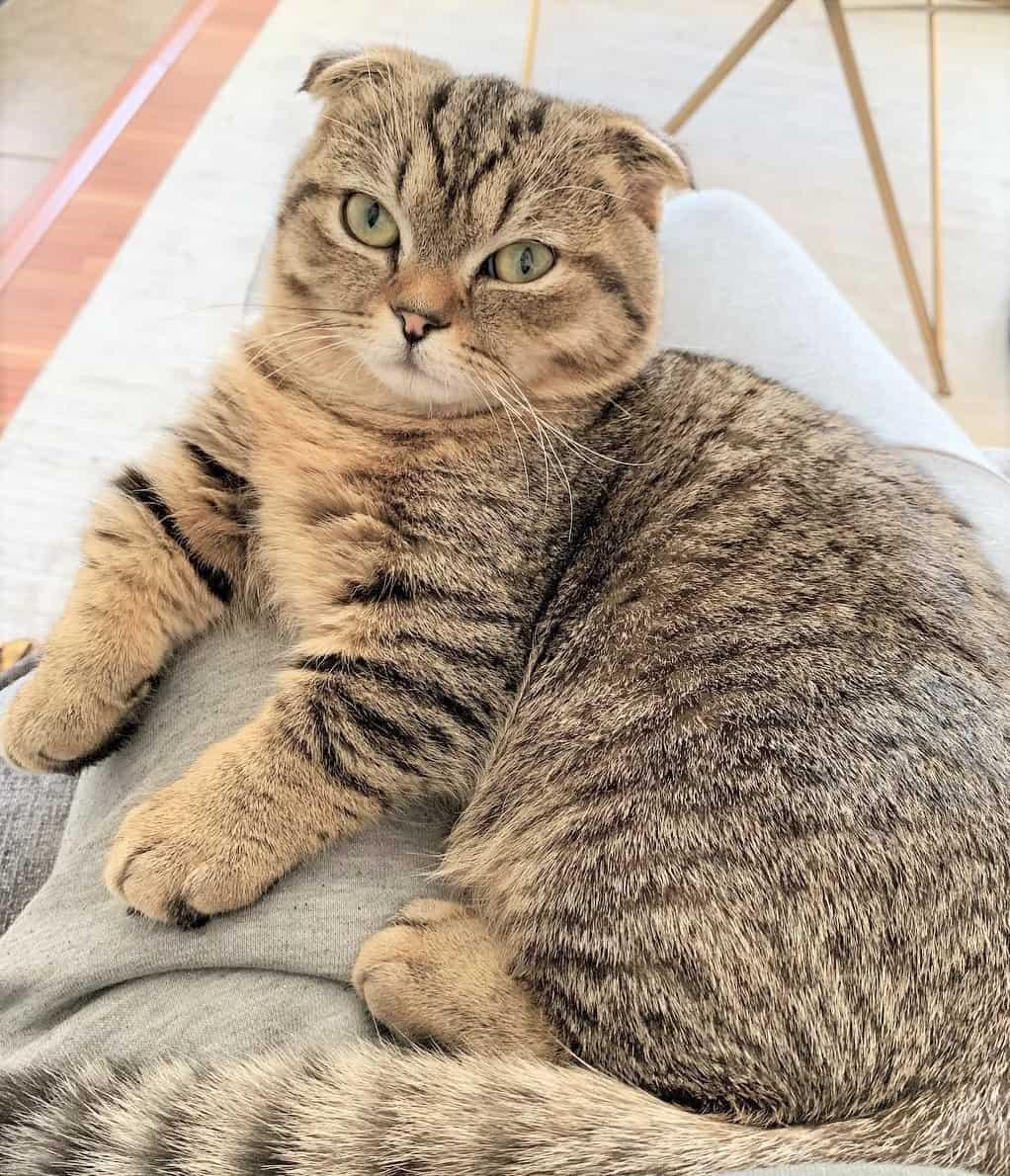 Big fat Scottish Fold Munchkin Cat