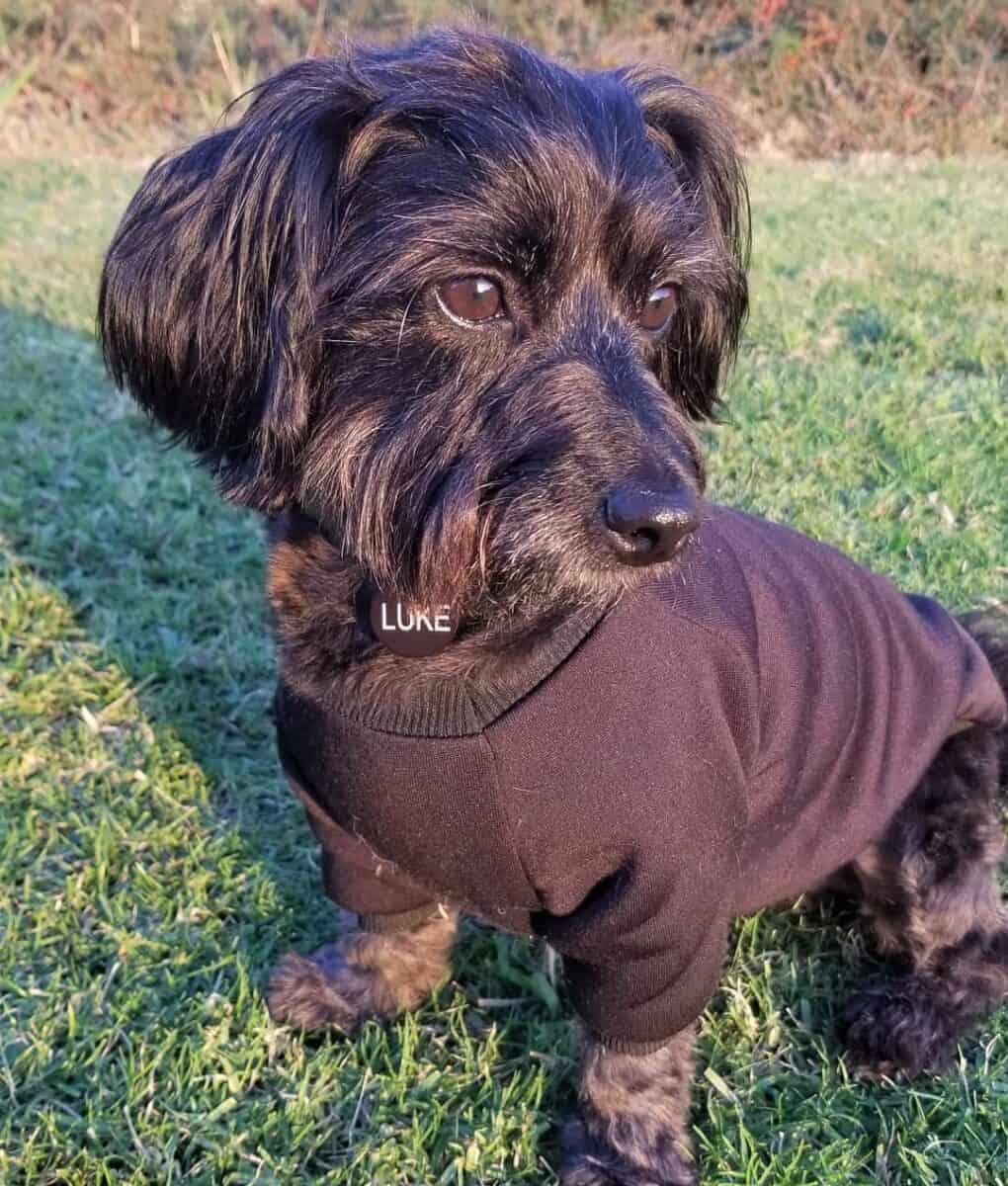 Black Terrier Poodle mix wearing dog shirt