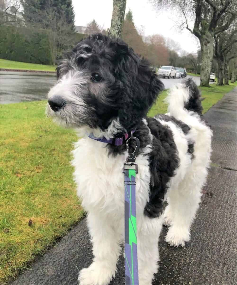 Black and White Goldendoodle