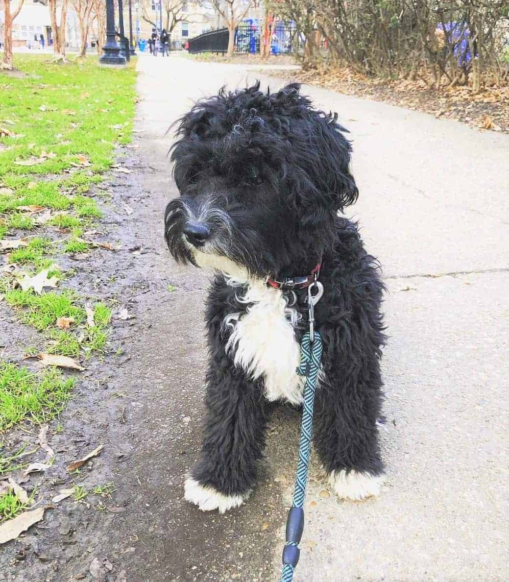 Black and White Miniature Aussiedoodle