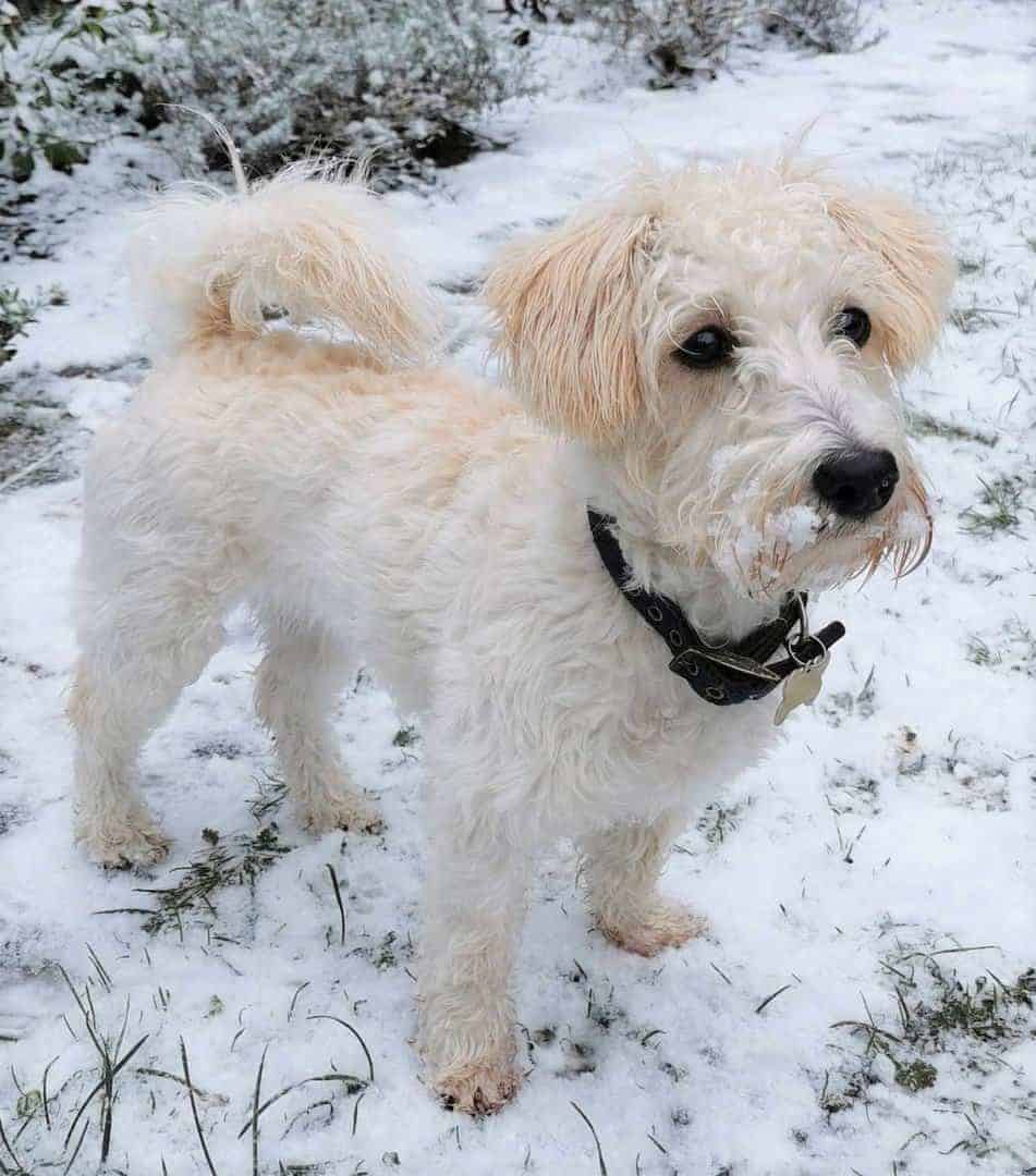 Cairnoodle (Cairn Terrier and Poodle Mix)