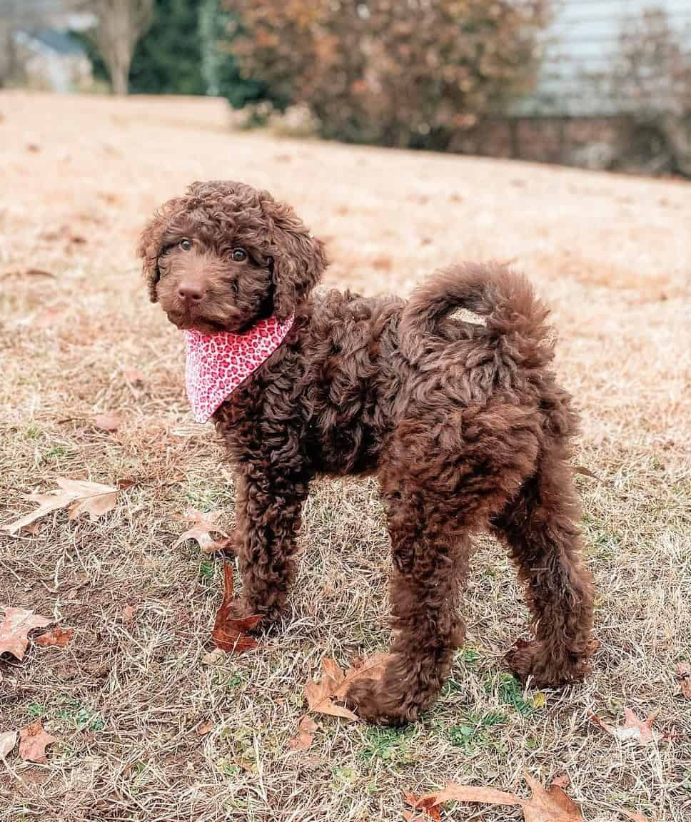 Chocolate Goldendoodle puppy