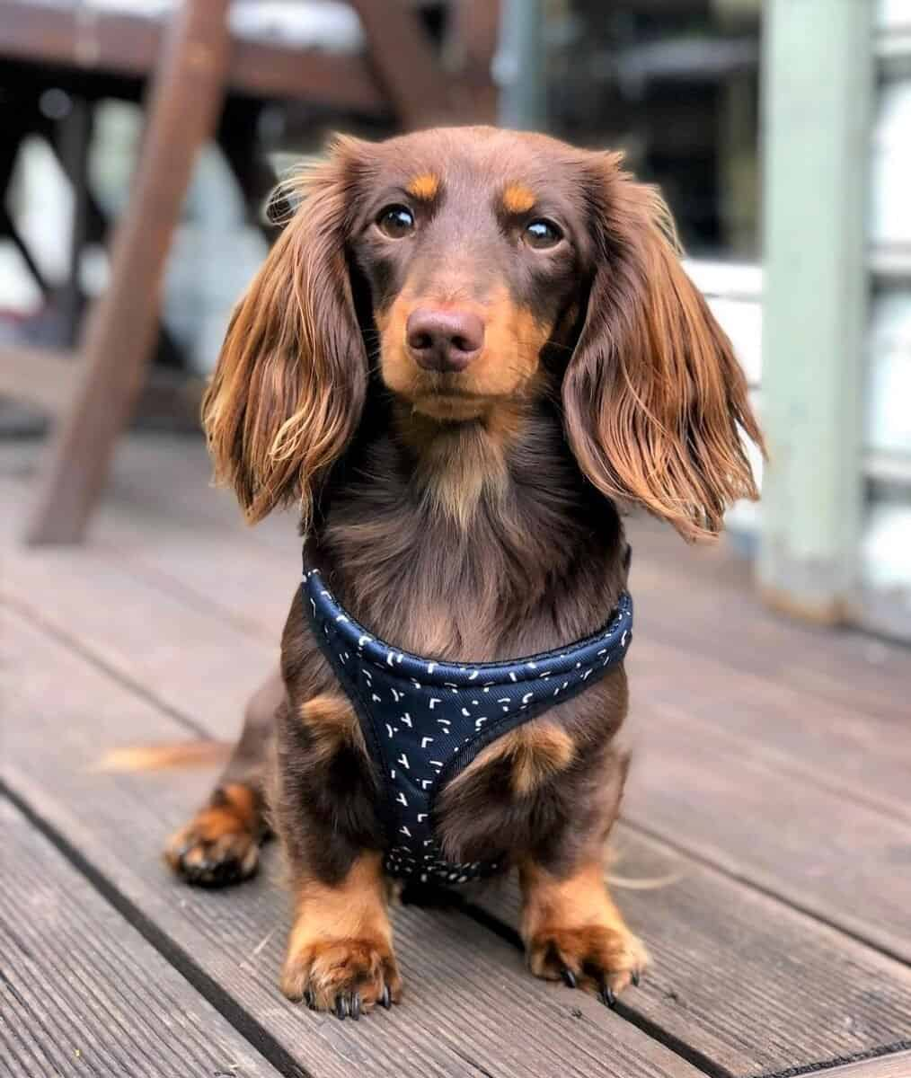 Chocolate and Tan Dachshund