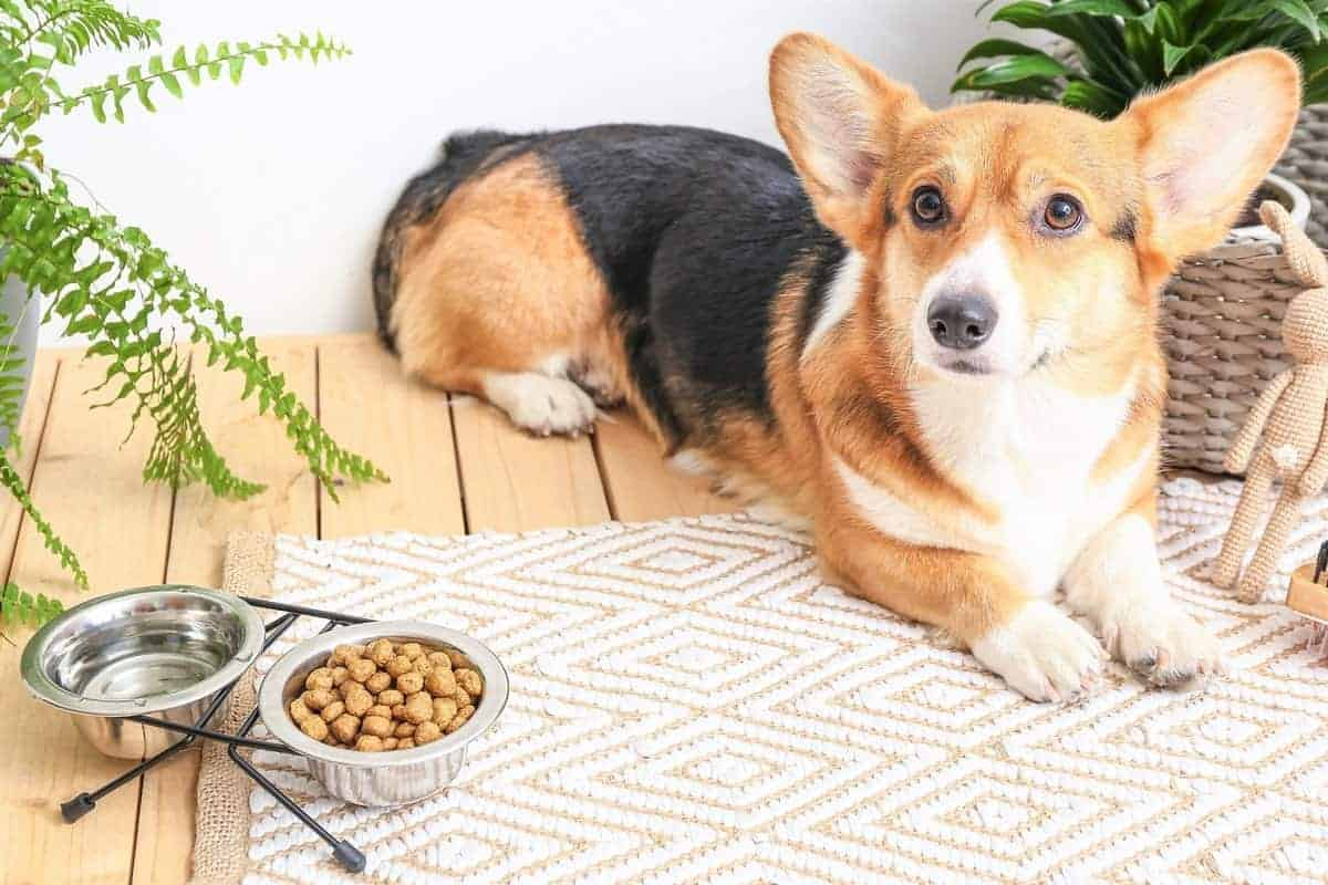 Corgi with bowls of food and water