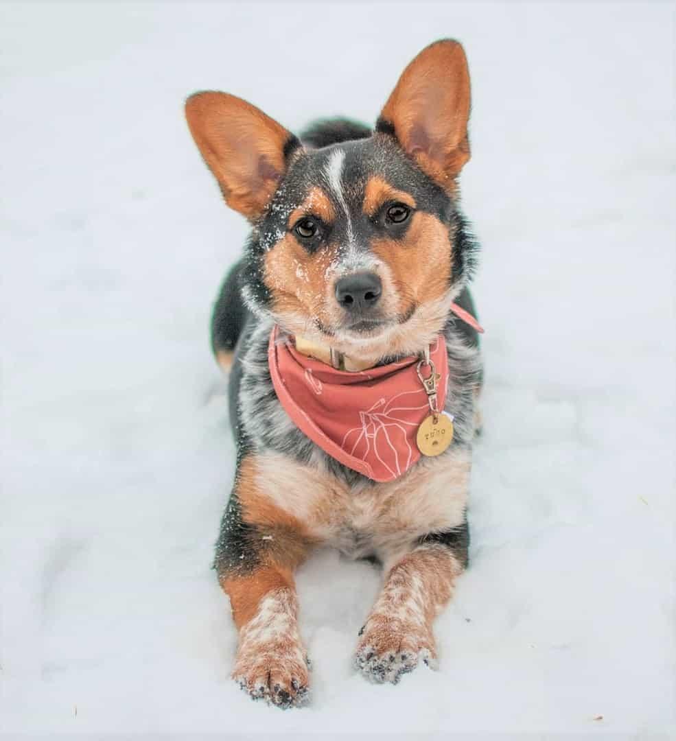 Cowboy Corgi lying on thick snow