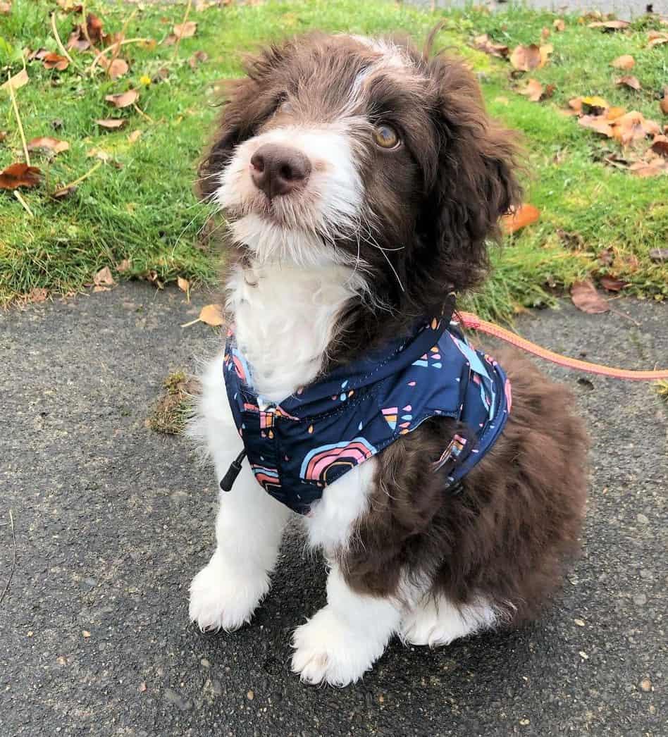 Cute Mini Aussiedoodle puppy walking on leash
