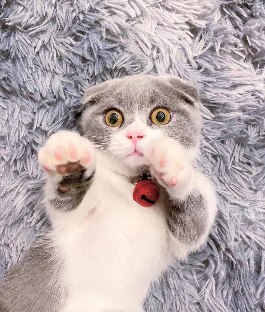 Cute Scottish Fold Munchkin Kitten with hands up
