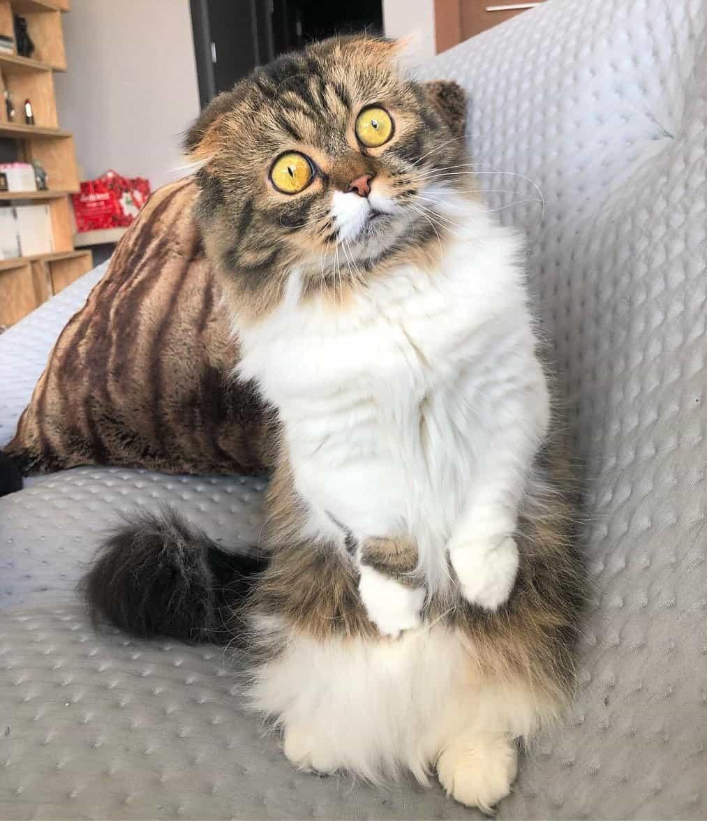 Cute long-haired Scottish Fold Munchkin with big yellow eyes