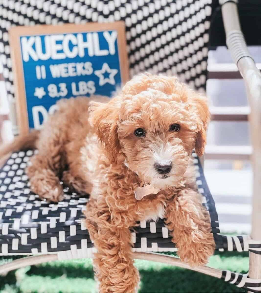 Cute mini Australian Goldendoodle puppy