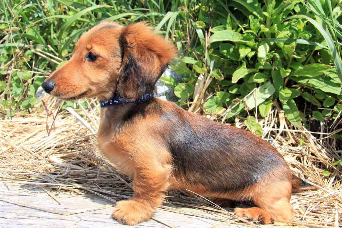Dachshund puppy changes its coat color