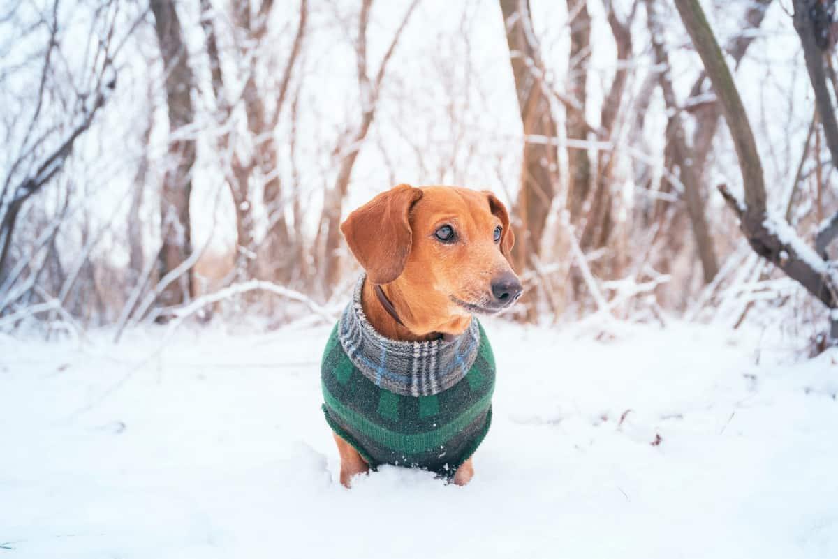 Doxin Doxen Doxie Dachshund wearing winter coat