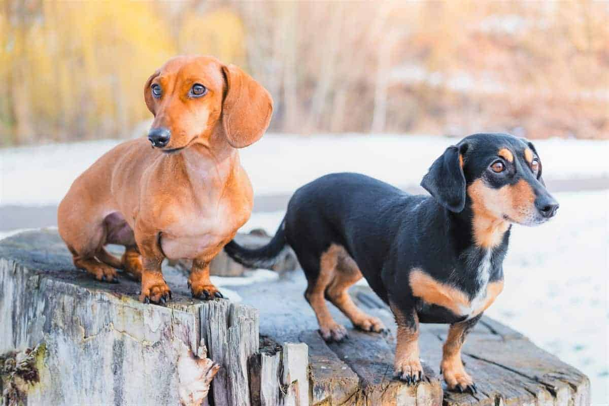 Doxin Doxen Doxie Dachshund with different colors