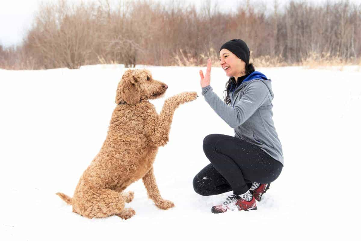 Goldendoodle (Golden Retriever Poodle mix) playing with its owner