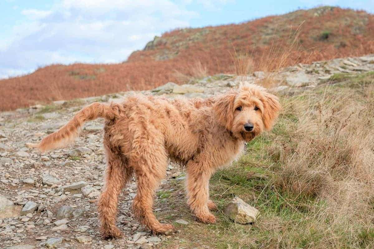 Goldendoodle with apricot coat color pattern hiking with its owner