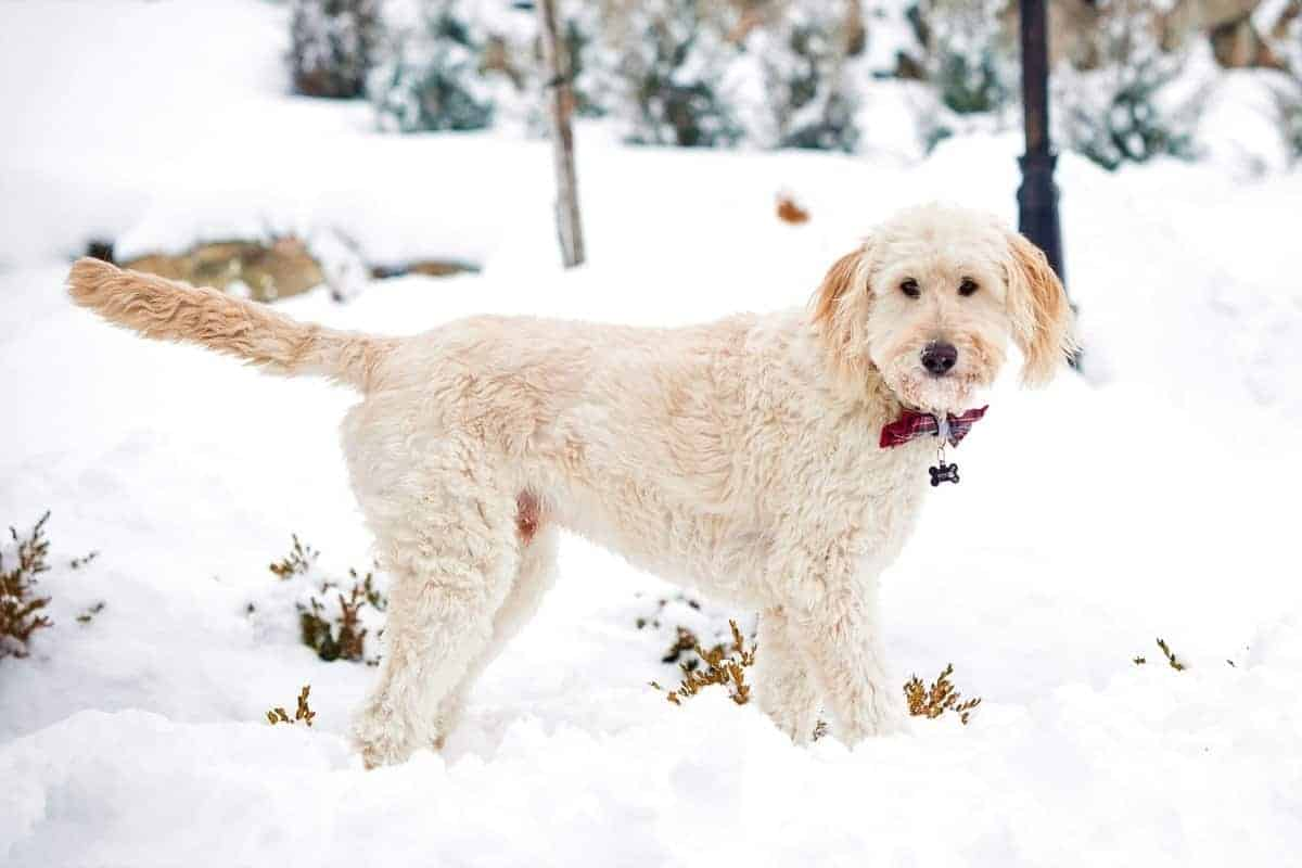 Goldendoodle with hypoallergenic coat