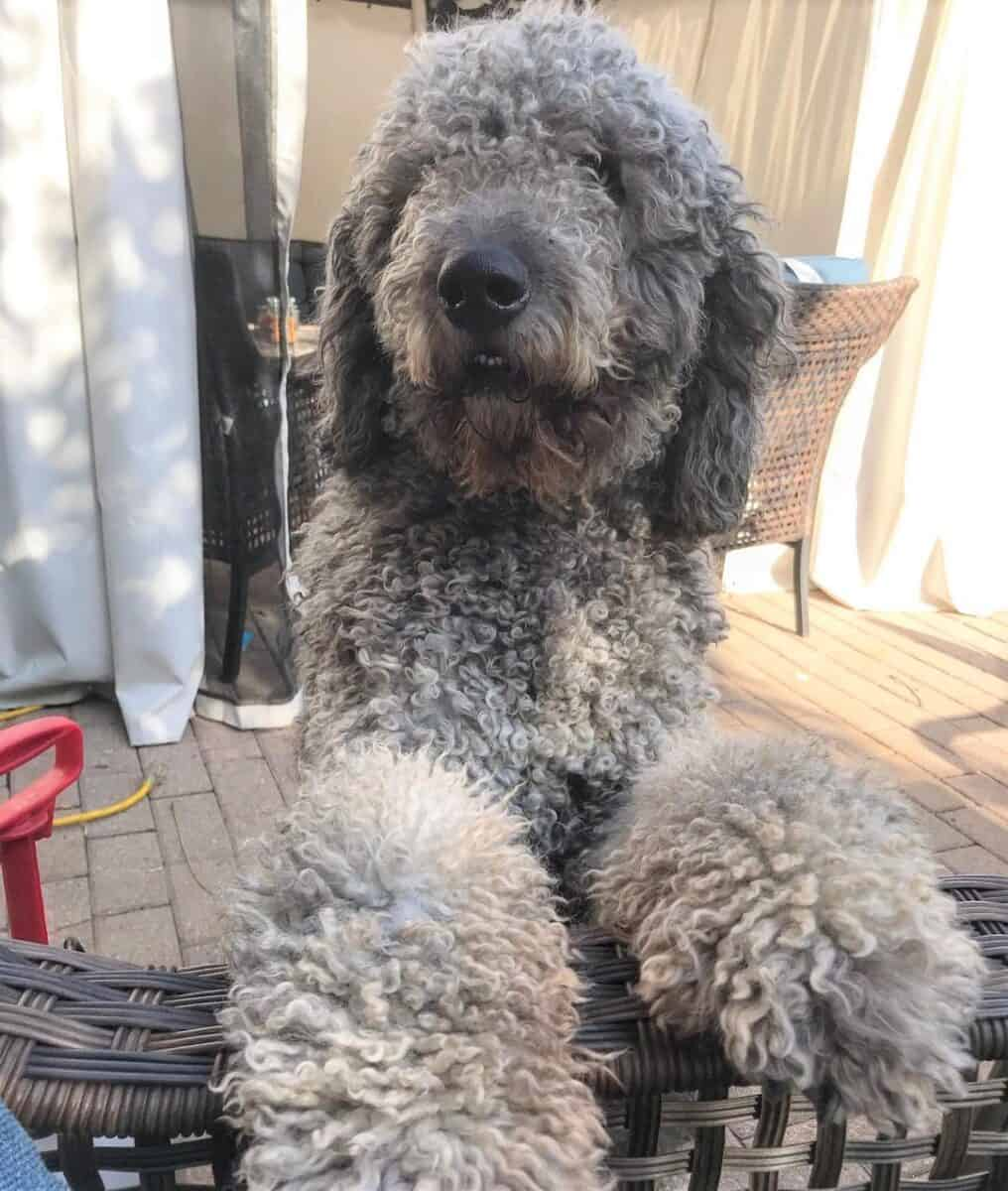 Gray Goldendoodle