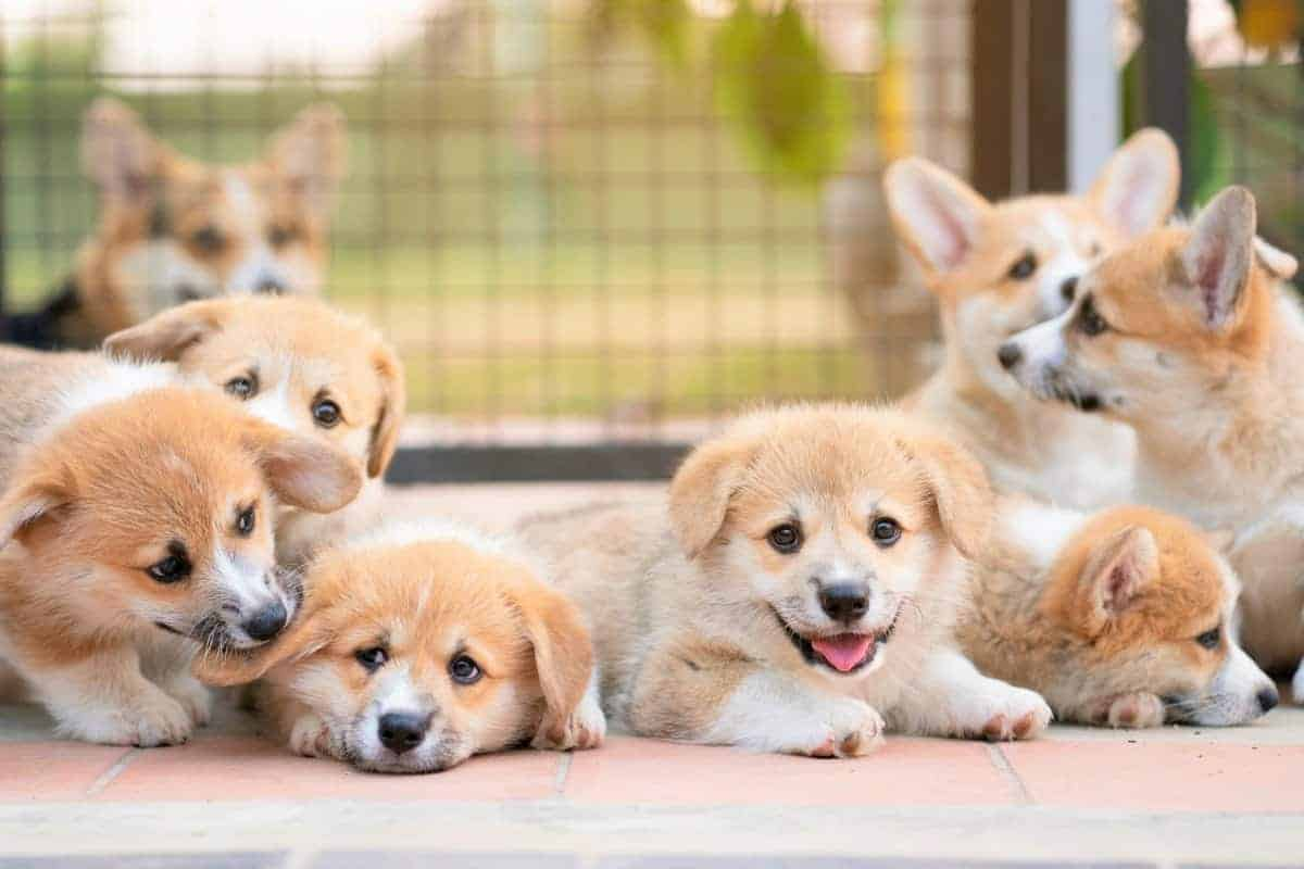 Group of Corgi puppies for sale prices and expenses