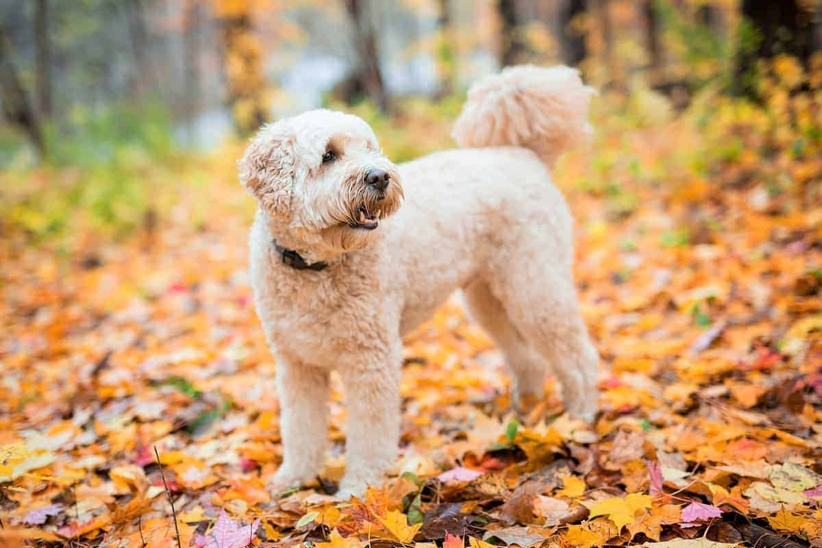 Happy white color Goldendoodle outside in autumn season