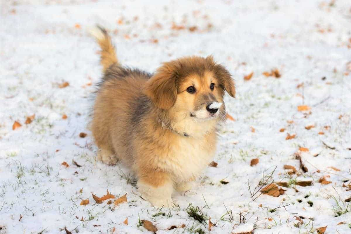Little Funny Fluffy Corgi Puppy Outdoors
